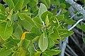 Rhizophora mangle (red mangrove) (San Salvador Island, Bahamas) 3 (15599341787).jpg