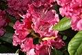 Rhododendron Besse Howells 1zz.jpg