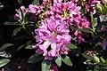 Rhododendron catawbiense Grandiflorum 7zz.jpg