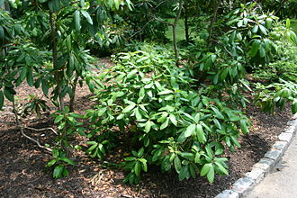 Rhododendron maximum - American rhododendron (Rhododendron maximum)