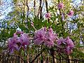 Rhododendron periclymenoides - Pink Azalea.jpg