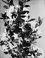 Rhododendron periclymenoides WFNY-f022.jpg