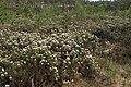 Rhododendron tomentosum kz17.jpg