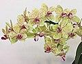 Rhynchonopsis Kdares Perfume Dancer -台南國際蘭展 Taiwan International Orchid Show- (39032105280).jpg