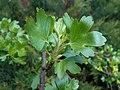 Ribes aureum 2017-04-17 7353.jpg