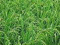 Rice plant.jpg