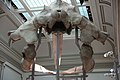 Right whale skull - rear.JPG