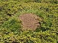Rila ants nest.JPG