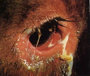 Detailfoto eines Rinderauges mit eitrigem Augenausfluss