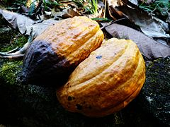 Ripe Cacao fruit pods, ready for processing or consumption