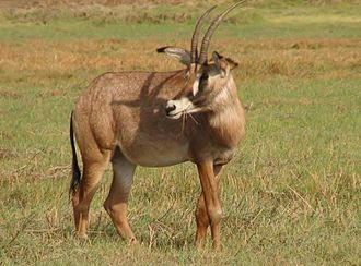Central Province, Zambia - Roan antelope in Kafue National Park