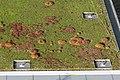 Roof cushion moss Leucobryum in Tottenham, London 01.jpg