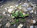 Rorippa palustris sl27.jpg
