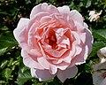 Rosa 'L'aimant' J1.jpg