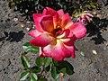 Rosa Piccadilly 2018-07-16 6595.jpg