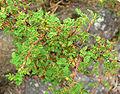Rosa minutifolia 2.jpg
