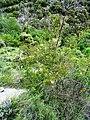Rosa rubiginosa plant (04).jpg