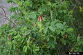 Rosa rugosa plant (10).jpg