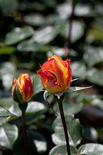 Rose, Spectra - Flickr - nekonomania (5).jpg