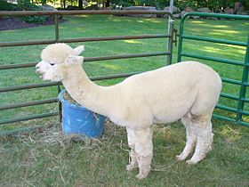 Rose Hill Farm Alpaca 01.jpg