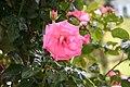 Rose Ramira 20070601 1.jpg