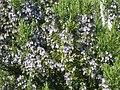 Rosmarinus officinalis01.jpg