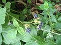 Rubus caesius Podkomorské lesy.JPG