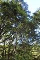 Rubus cissoides kz3.jpg