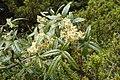 Rubus schmidelioides kz2.jpg