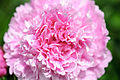 Ruffly Pink Peony (18368734831).jpg