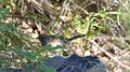Rufous-crowned Sparrow - Hunter Canyon - Sierra Vista - AZ - 2015-09-08at09-02-211 (21266324441).jpg