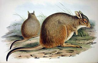 Rufous hare-wallaby Species of marsupial