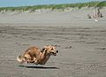 Running Dachshund at the beach.jpg