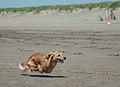 Running Dachshund at the beach.jpg