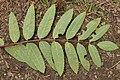 Rust fungus on Sorbus sp. (44405282592).jpg