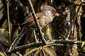 Rusty-fronted Barwing Fambong Lho Wildlife Sanctuary Sikkim India 29.03.2014.jpg