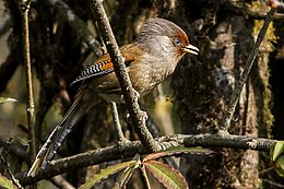 Rusty-fronted Barwing Fambong Lho Wildlife Sanctuary Sikkim India 29.03.2014.jpg