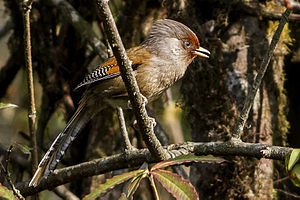 Rusty-fronted barwing - From Fambong Lho Wildlife Sanctuary, Sikkim, India