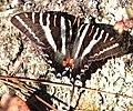 SWALLOWTAIL, ZEBRA (Eurytides marcellus) (2-24-13) kissimmee lake state park, osceola co, fl (2) (9423380100).jpg