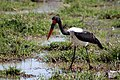 Saddle-billed stork (Ephippiorhynchus senegalensis) (10903022114).jpg
