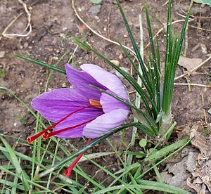 Crocus sativus - Image: Safrà de perfil