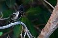 Sakesphorus canadensis Black-crested Antshrike.jpg