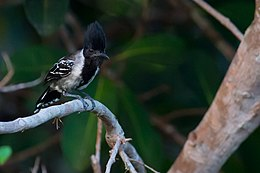 Sakesphorus canadensis Black-crested Antshrike.jpg