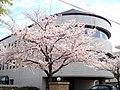 Sakura - panoramio - elkame.jpg