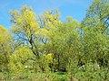 Salix alba 007.jpg