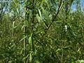 Salix viminalis 007.jpg