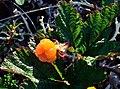 Salmonberry07.jpg