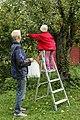 Samarbeide om epleplukking 3.jpg