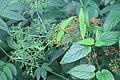 Sambucus chinensis in Wuyishan Chengcun 2012.08.24 08-29-31.jpg