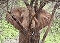 Samburu Elephant 2007.jpg